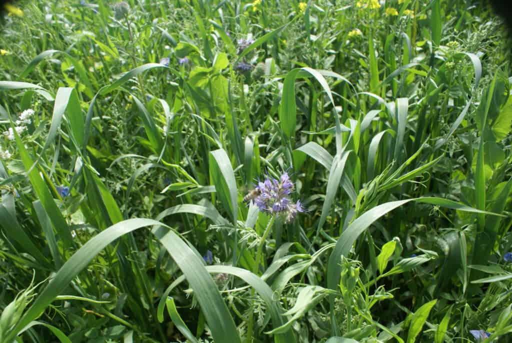 Flowers in field at Mans Organics Farm