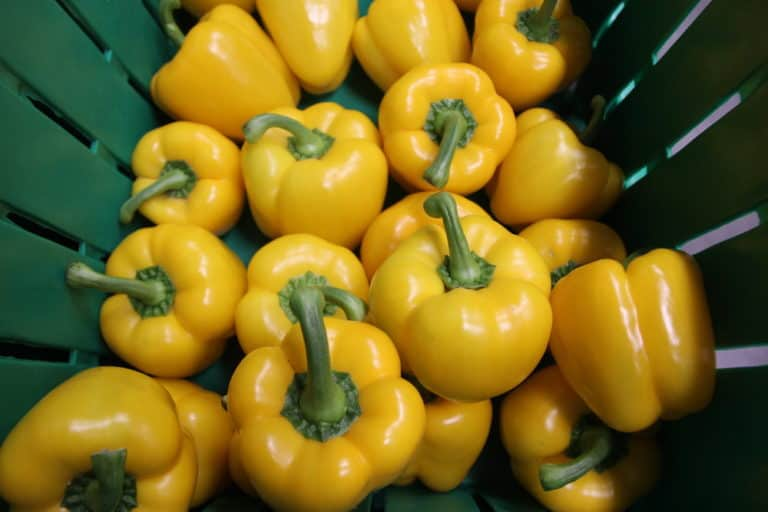 Harvested Peppers at Mans Organics